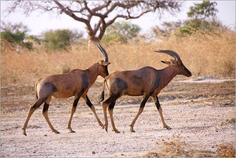 1b Waza, Horse Antelopes