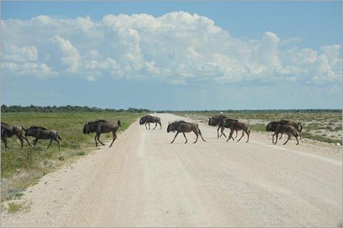 1c. Blue wildebeest