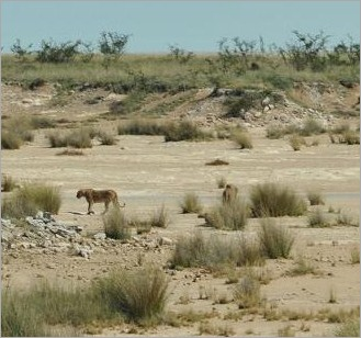 6a. Spot the lions, there is a male and lioness here