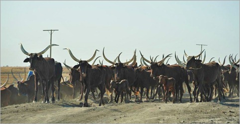 2b. Always have to be careful when cycling through longhorned cattle