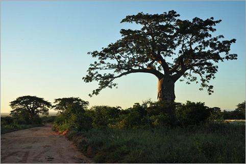 4d. Baobabs, milder climate